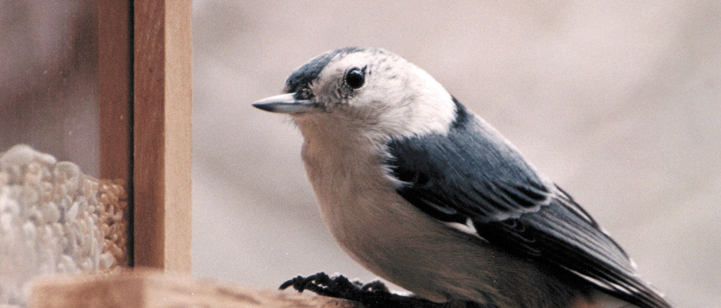 Nuthatch Feeder